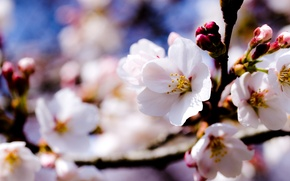 Picture the sky, trees, flowers, branches, spring, white, Apple