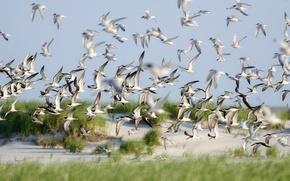 Picture Flight, Nature, Birds, Summer, Skimmers, Lido Beach