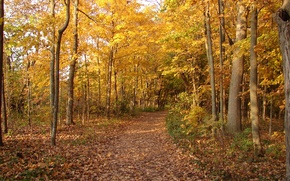 Picture autumn, forest, foliage, trail, track, forest, falling leaves, Autumn, leaves, path, fall