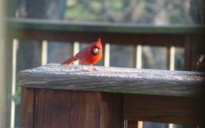 Picture bird, spring, cardinal