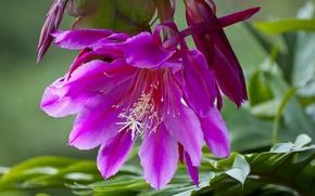 Wallpaper macro, cactus, Epiphyllum, Orchid cactus