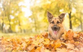 Picture autumn, look, face, leaves, dog, shepherd, German shepherd