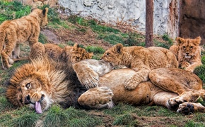 Picture Leo, kittens, lions, the cubs, fatherhood