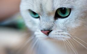Picture cat, cat, face, portrait, green eyes