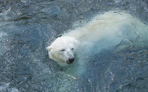 Picture winter, white, bear, bear, Antarctica