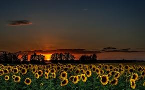 Picture summer, sunflowers, night, nature