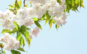 Picture the sky, flowers, branches, spring, petals, Sakura, flowering
