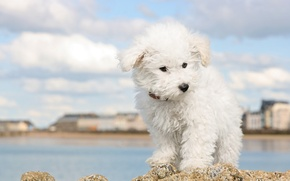 Picture white, the sky, clouds, the city, river, shore, dog, puppy, lapdog, Wallpaper from lolita777