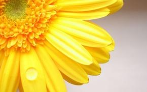 Wallpaper flower, yellow, Gerber