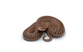 Picture Snake, Brown, White background