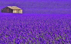 Picture field, flowers, house, France, meadow, lavender, plantation, Provence