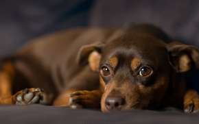 Picture look, dog, Miniature Pinscher