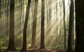 Picture Nature, Trees, Forest, Wallpaper, Wallpapers, The sun's rays