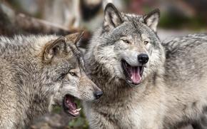 Picture predators, wolves, a couple