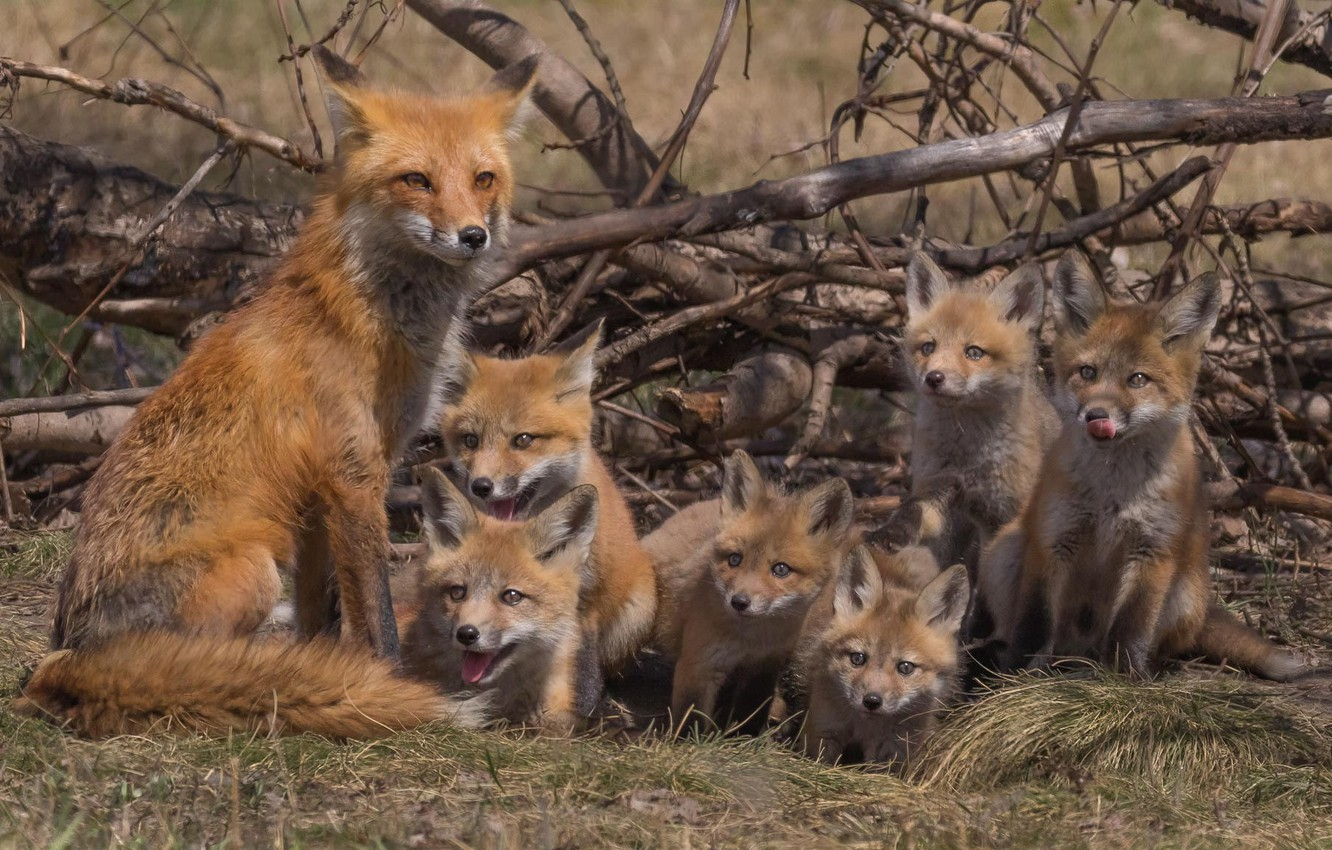 Photo wallpaper branches, Fox, family, cubs, cubs, brood