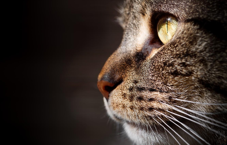 Photo wallpaper cat, cat, macro, background, portrait, muzzle, profile