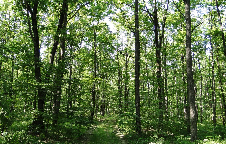 Photo wallpaper forest, summer, trees, Kuban, Akela White, Krasnodar Krai