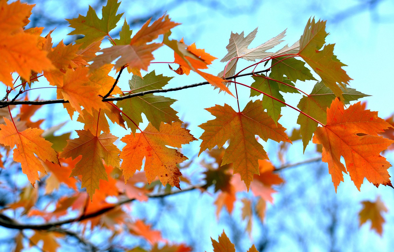 Photo wallpaper autumn, the sky, leaves, branch, maple