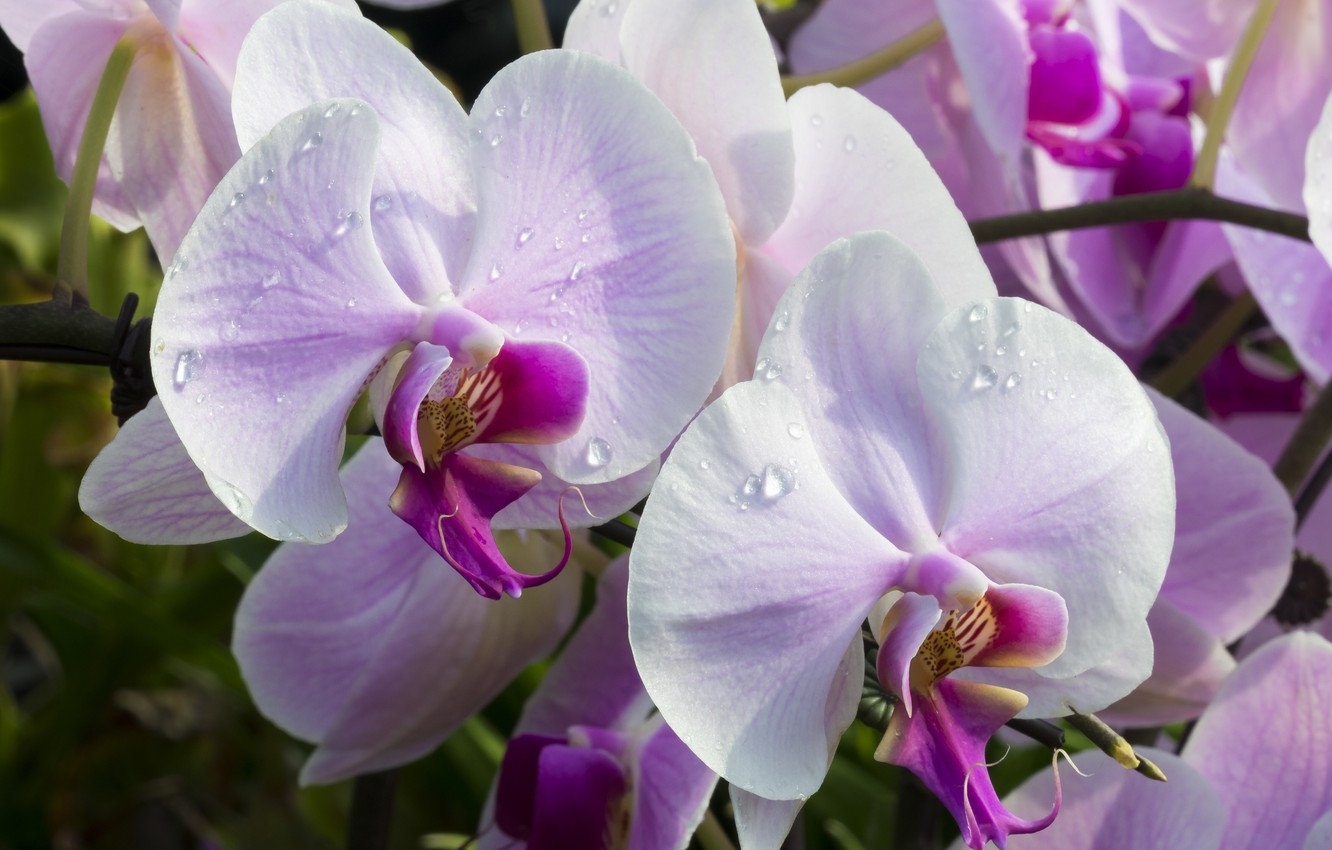 Photo wallpaper macro, orchids, exotic, Orchid