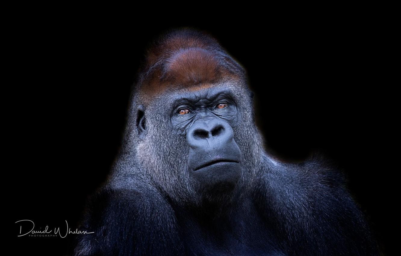 Photo wallpaper nature, background, monkey, Western Lowland Gorilla