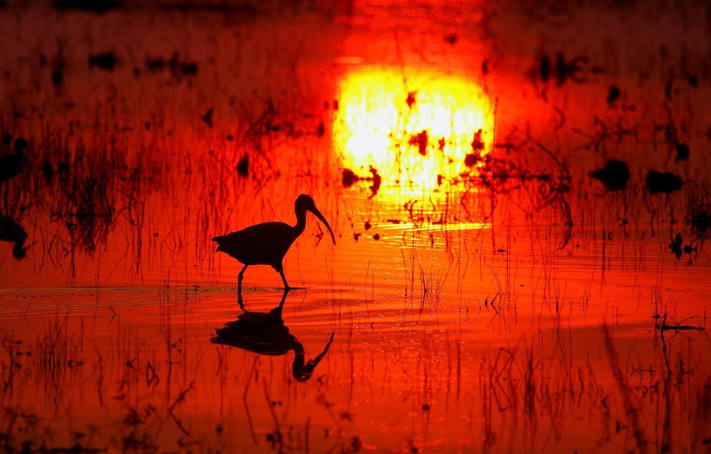 Photo wallpaper water, sunset, reflection, bird, swamp, beak, silhouette