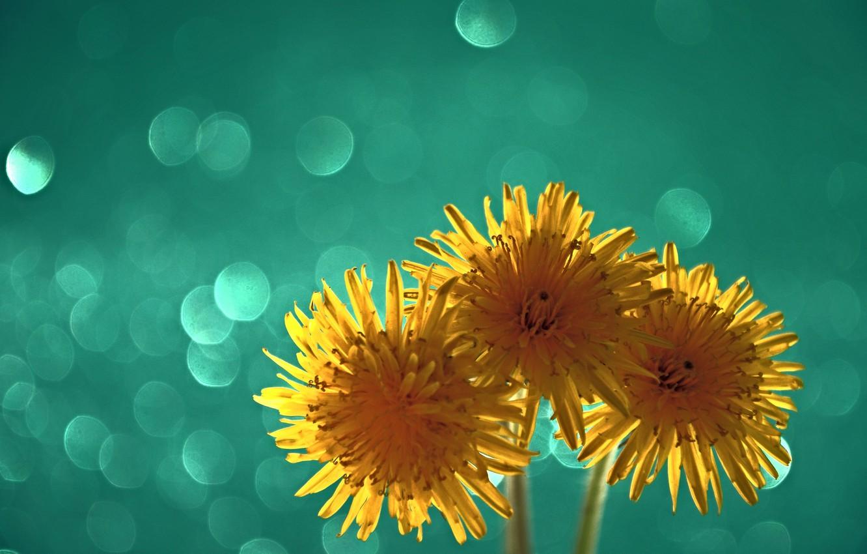Photo wallpaper macro, light, dandelion, petals, bltk