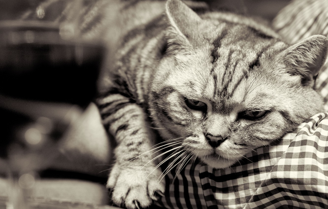 Photo wallpaper cat, cat, face, paw, black and white, claws, British, British Shorthair