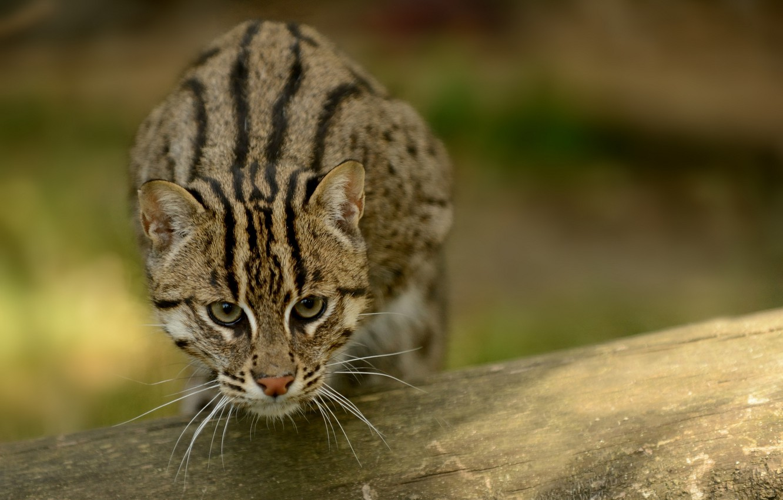 Photo wallpaper cat, cat, fishing cat, kot Rybolov, angler