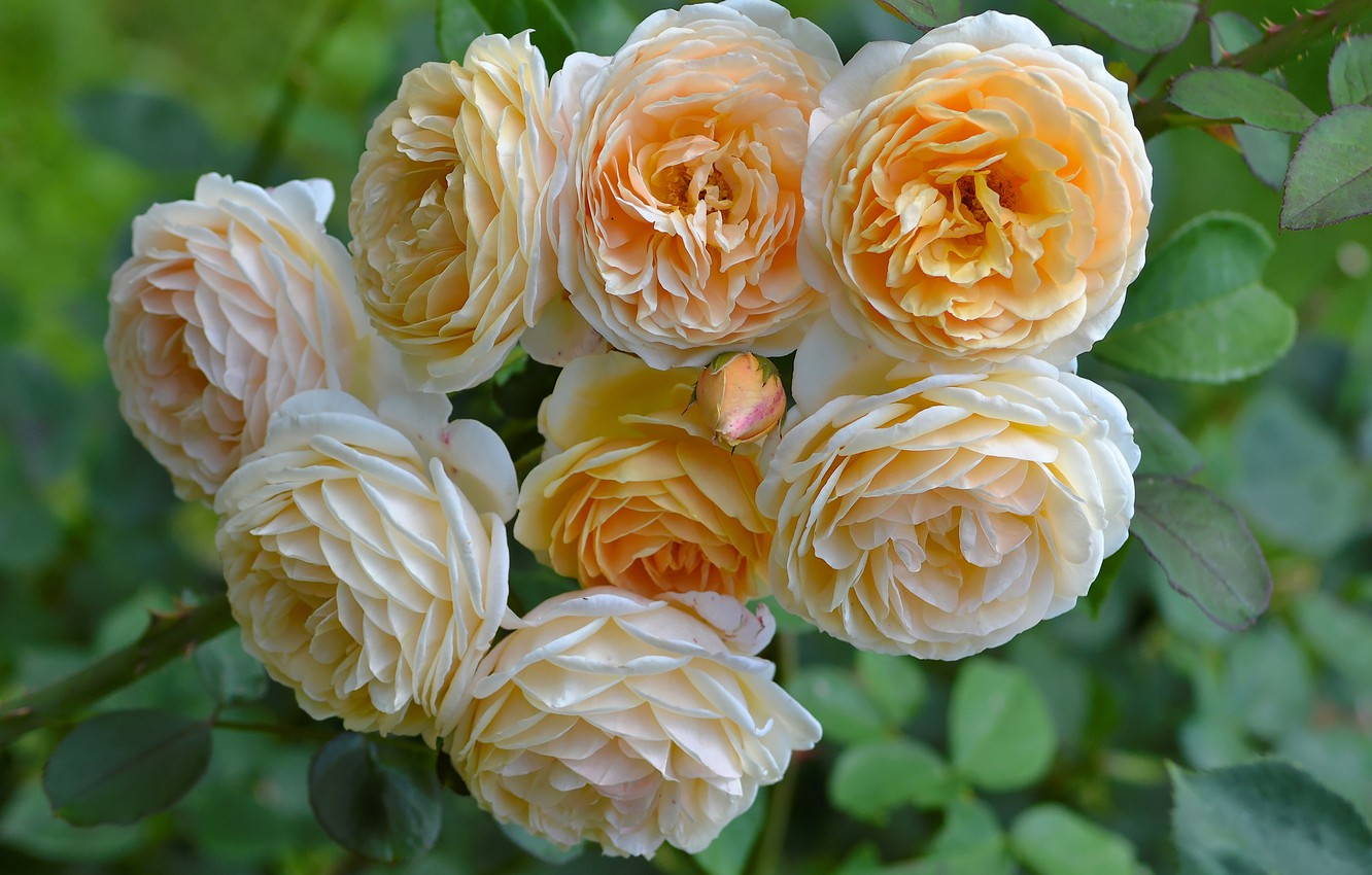 Photo wallpaper roses, buds, yellow roses