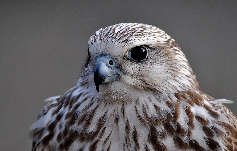 Photo wallpaper look, grey, background, bird, portrait, Falcon