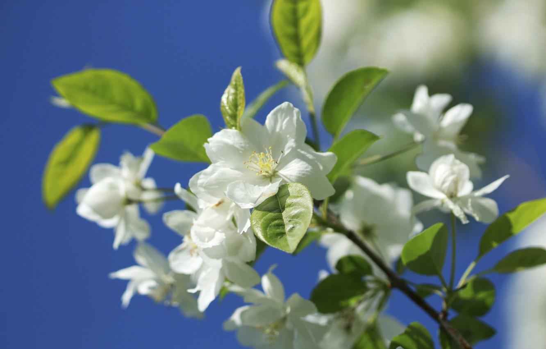 Photo wallpaper macro, nature, branch, spring, Apple, flowering, flowers, bokeh