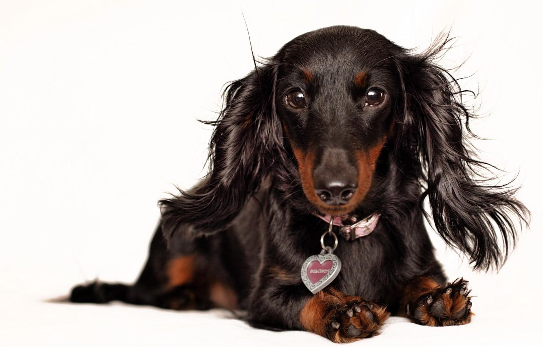 Photo wallpaper background, dog, Dachshund