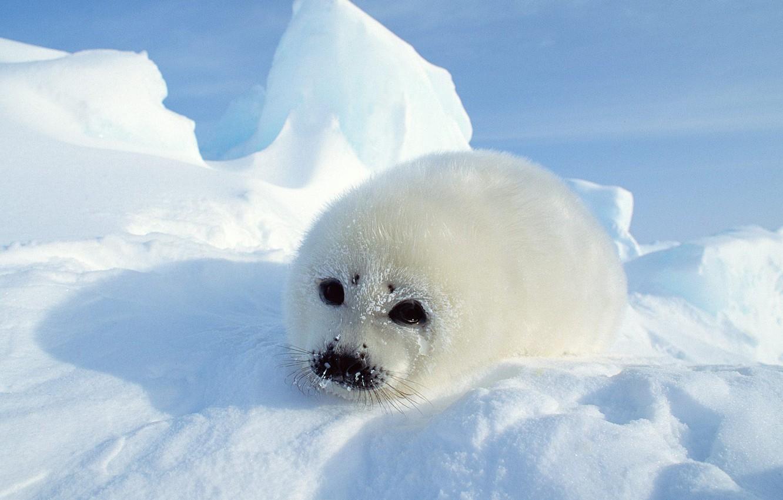 Photo wallpaper snow, fur, seal, Seal