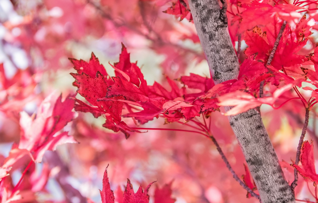 Photo wallpaper autumn, leaves, red, tree, maple