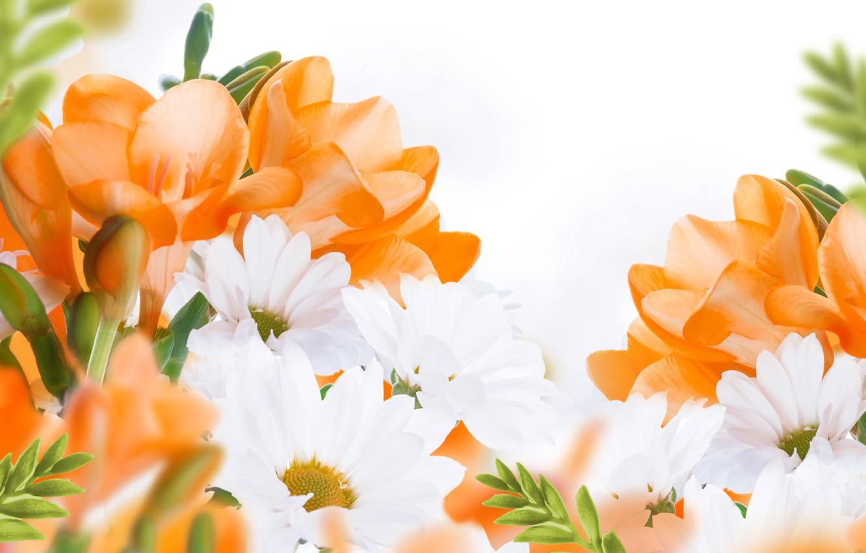 Photo wallpaper flowers, flowers, white chrysanthemums, white chrysanthemum