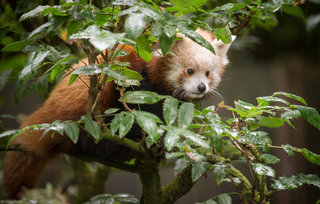 Photo wallpaper leaves, branches, red Panda, firefox, red Panda