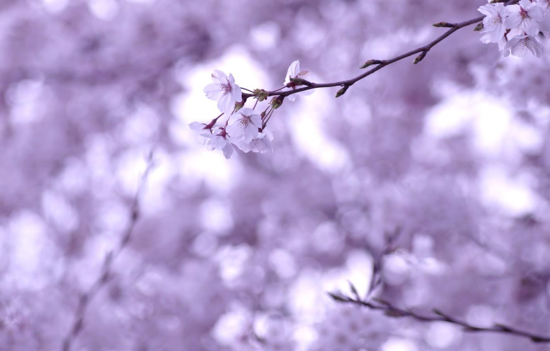 Photo wallpaper macro, flowers, cherry, sprig, branch, tenderness, spring, blur, Sakura, white, flowering