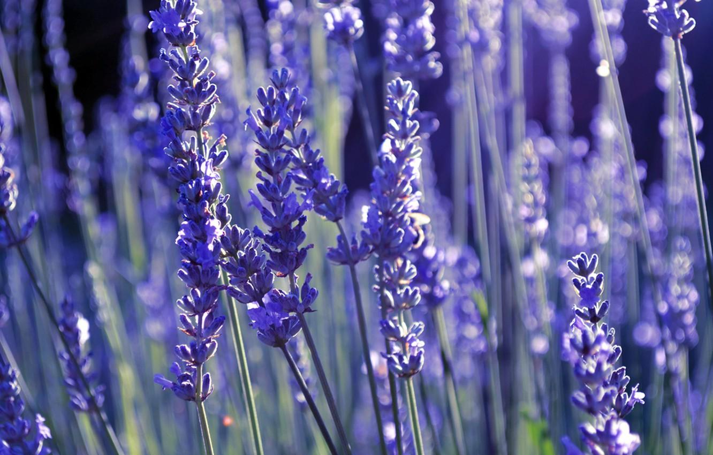 Photo wallpaper lilac, lavender, lavender