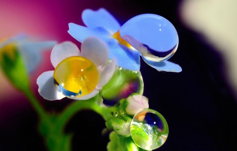 Photo wallpaper drops, macro, flowers, Rosa