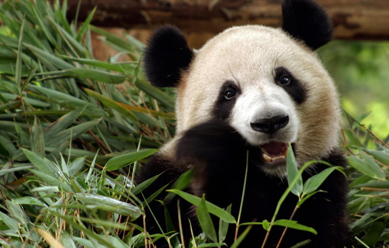 Photo wallpaper grass, animal, bear, Panda