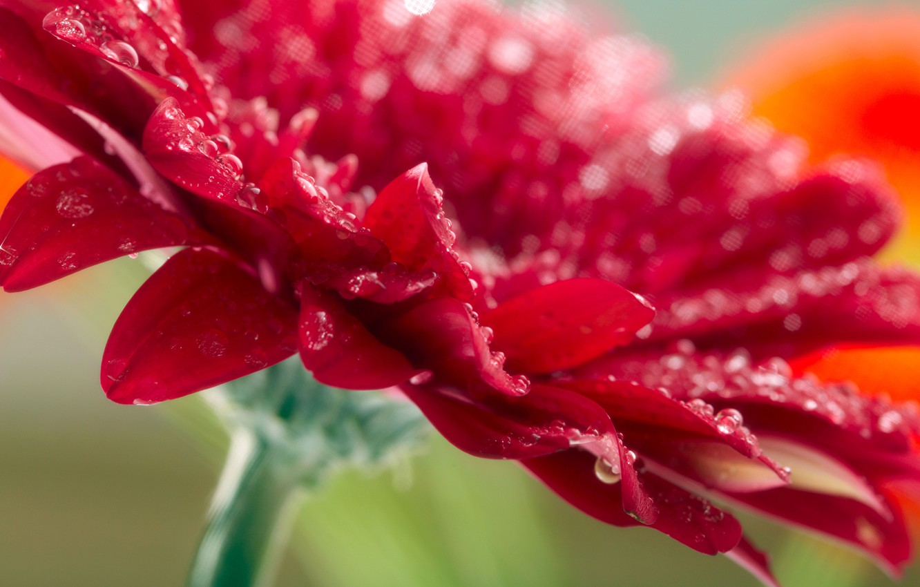 Photo wallpaper flower, drops, macro, red, photo, red, flower, nature, macro, Gerbera, raindrops, Gerbera
