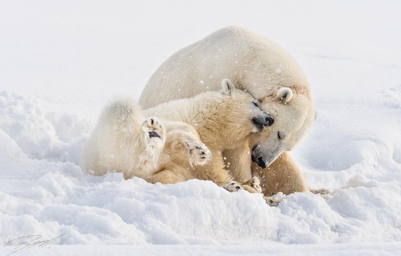 Photo wallpaper bears, bear, white, North, cub, bears, bear