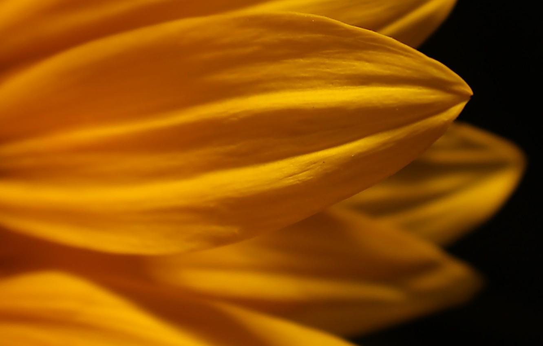 Photo wallpaper flower, macro, yellow, petals, black background