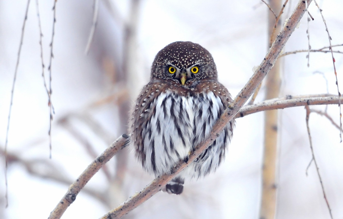 Photo wallpaper nature, background, owl