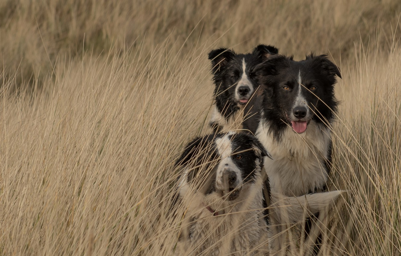 Photo wallpaper field, dogs, the border collie, blade, Wallpaper from lolita777