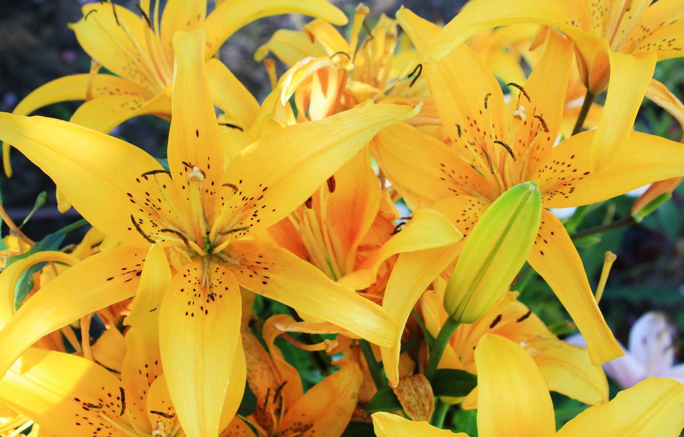 Photo wallpaper flowers, Lily, yellow