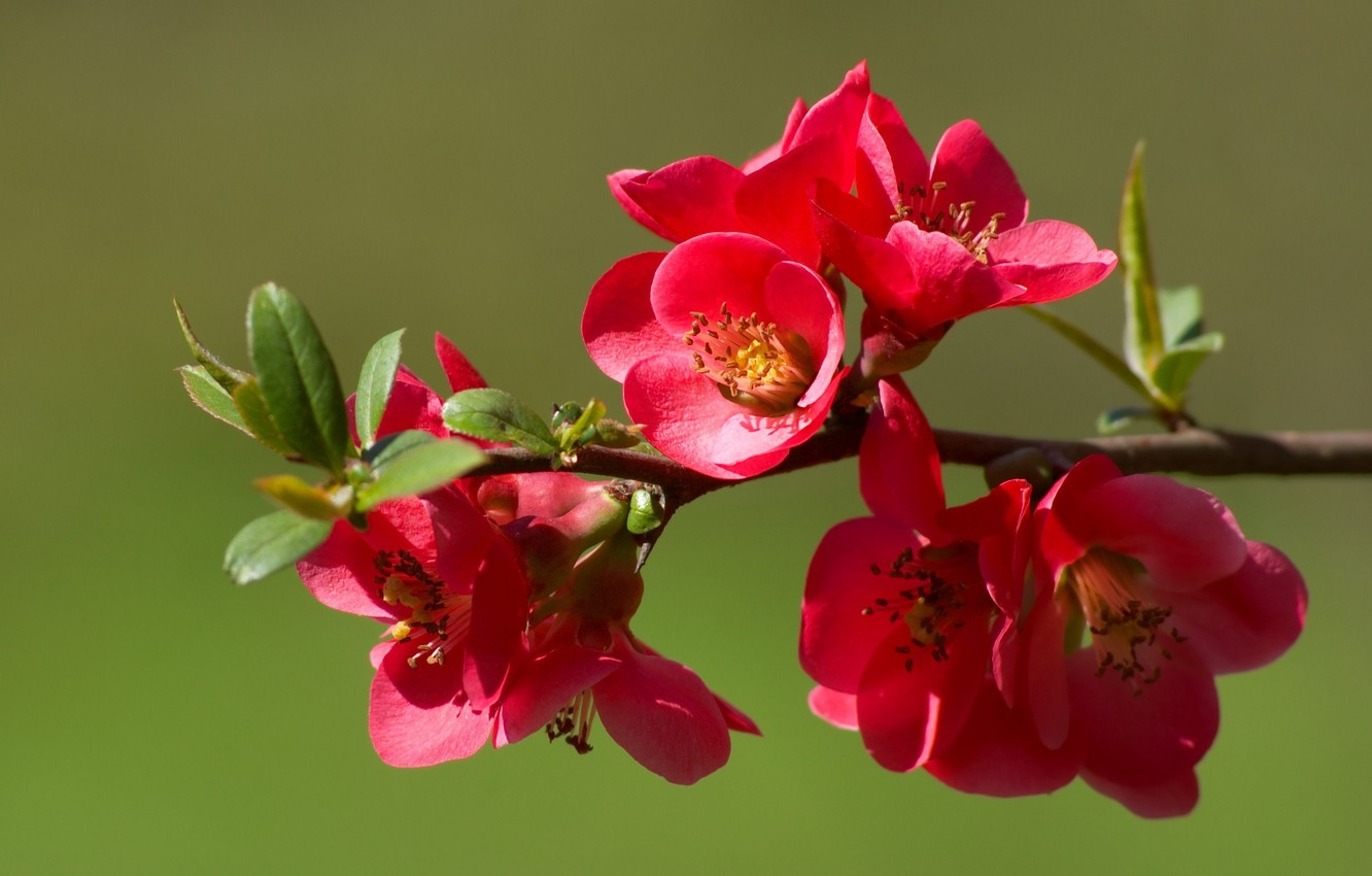 Photo wallpaper flowers, nature, branch, spring, buds, flowering, quince