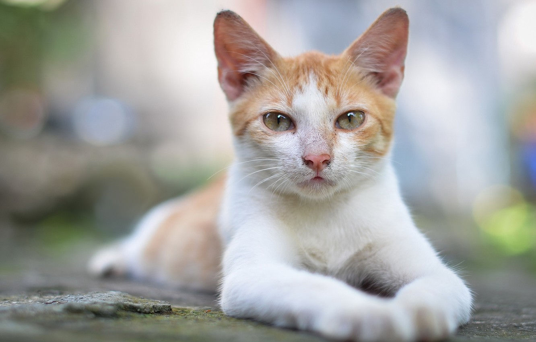 Photo wallpaper cat, look, pose, glare, portrait, white-red