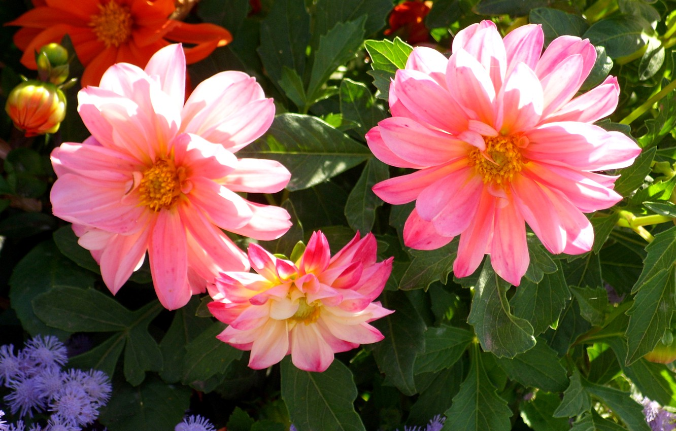 Photo wallpaper photo, Flowers, Bud, Pink, Dahlias