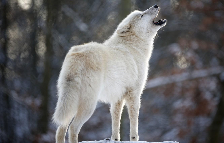 Photo wallpaper white, wolf, predator, howl, Wolf
